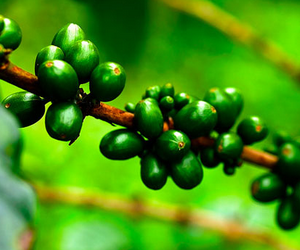 yeşil kahve yeşil kahve Yeşil Kahve Nedir, Yararları ve Nasıl İçilir? ye  il kahve   ekirde  i