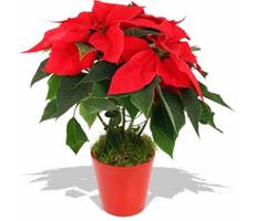 kış bitkisi atatürk çiçeği kış çiçek Kışa Dayanıklı, Kışın Açan Çıçekler atat  rk   i  e  i