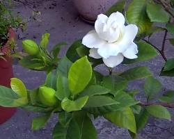 kışın ekilir gardenya kış çiçek Kışa Dayanıklı, Kışın Açan Çıçekler gardenya   i  e  i