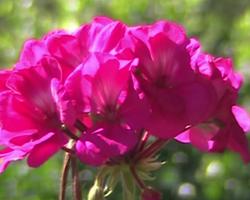 ilkbahar sonbahar açan çiçek kış çiçek Kışa Dayanıklı, Kışın Açan Çıçekler k     bah  e   i  e  i a  elya