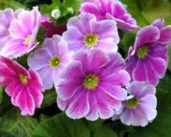 soğuğa dayanan onbir ay çiçek kış çiçek Kışa Dayanıklı, Kışın Açan Çıçekler onbir ay   i  e  i