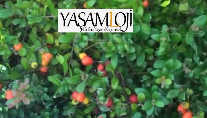 goji berry faydaları goji üzümü kullanımı