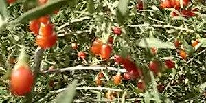 goji üzümü faydaları ve zararları yan etkileri  Goji Üzümü Faydaları, Goji Berry İle Zayıflama goji berry kurt   z  m   faydalar