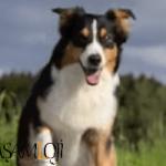 Avustralya çoban köpeği akıllı köpek En Zeki Köpekler ve Evde Bakılabilecek Köpek Cinsleri İsimleri Avustralya   oban k  pe  i