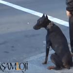 ev köpeği akıllı köpek En Zeki Köpekler ve Evde Bakılabilecek Köpek Cinsleri İsimleri Doberman Pincher