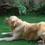 evde beslenen köpekler köpek En Zeki Köpekler ve Evde Bakılabilecek Köpek Cinsleri İsimleri Golden Retriever