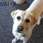 ev köpekleri cinsi köpek En Zeki Köpekler ve Evde Bakılabilecek Köpek Cinsleri İsimleri Labrador Retriever