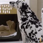 akıllı köpekler köpek En Zeki Köpekler ve Evde Bakılabilecek Köpek Cinsleri İsimleri dalma  yal