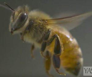 arı sokmaları şişkinlik, kızarıklık, acı